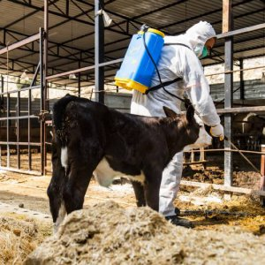 Büyükşehir, Büyükbaş Hayvanlarda Görülen Üçgün Hastalığı İle İlgili Önlemlerini Alıyor
